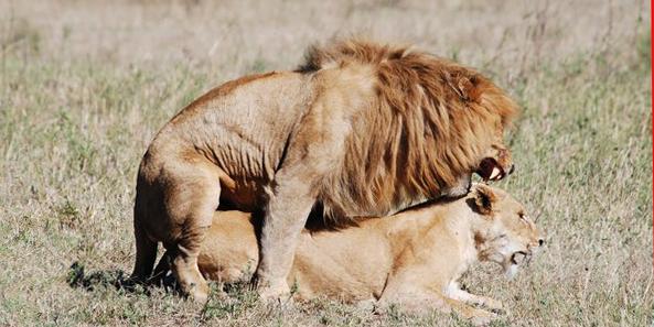 Lion-sexe